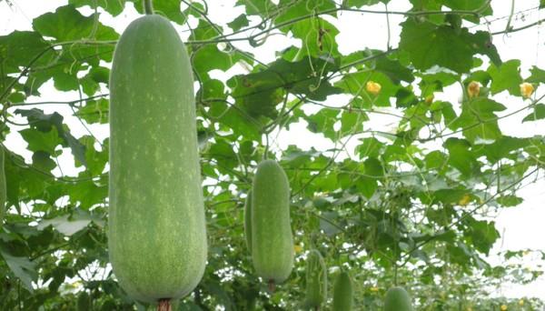 冬瓜が持つ栄養と効能☆美味しく食べてヘルシーダイエット